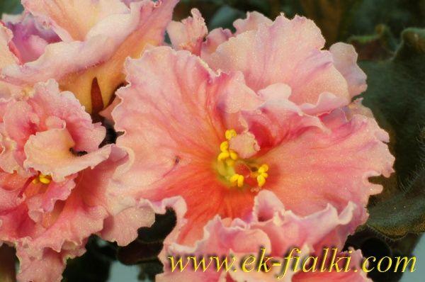 фиалка апельсиновые дольки фото и описание