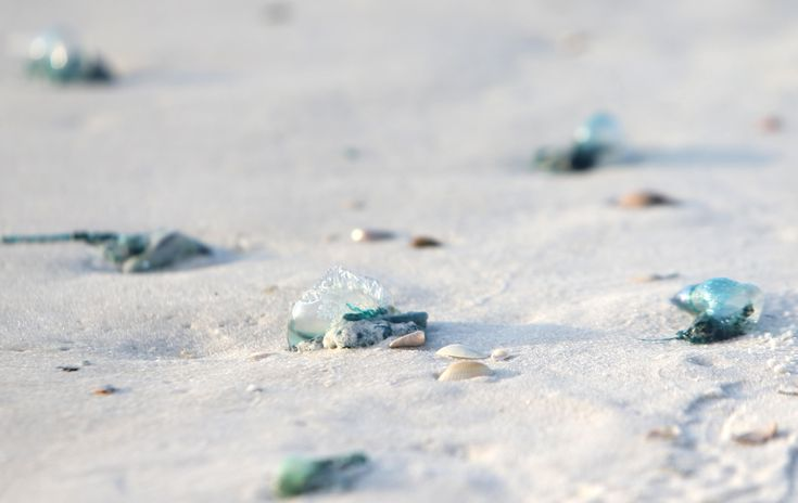 #orbispanama Fish tales: Portuguese man o' wars spotted on beach - The News Herald #KEVELAIRAMERICA