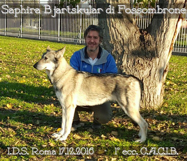 Saphira Bjartskular di Fossombrone 1º Ecc. CACIB 🏆 alla Expo' Internazionale Canina di ROMA 2016  #saarloos #FOSteam