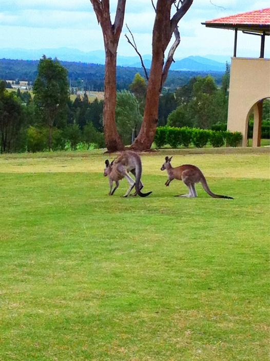 Kangaroos at Chateau Elan at The Vintage Hunter Valley, NSW