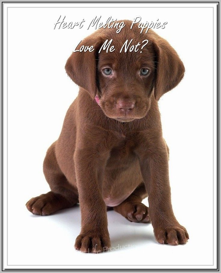 Excellent Advice About Dogs With Images Labrador Retriever Lab Puppies Labrador Puppy