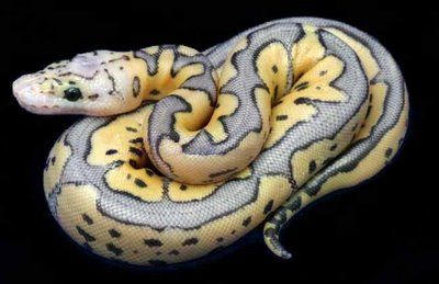Killer Clown morph of the common Ball Python. I love my ball, Edward he is a Pastel morph.