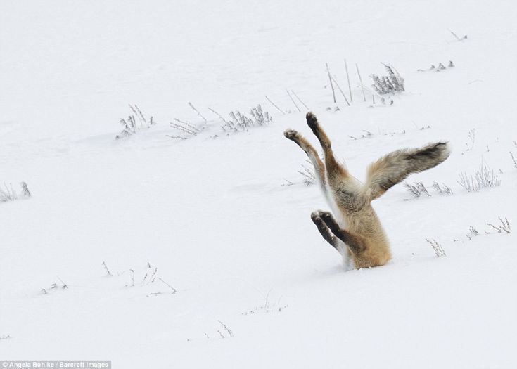 Angela Bohlke, of the United States, was awarded the top prize in both the Overall and On the Land categories for the hilarious picture of a fox captured at Yellowstone National Park