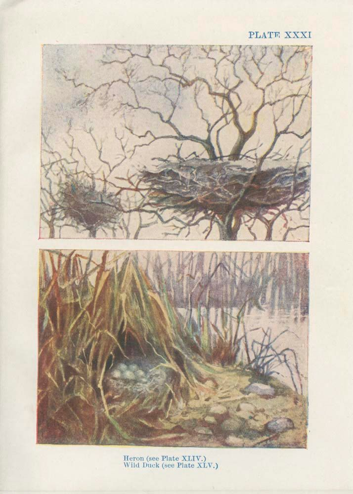 Heron's, Wild Duck's Nest, 1906 Antique Tiny Bird Nest Egg Picture 31, Country Cottage Decor Woodland Art Woodland Nursery, Natural History by MarcadeVintagePrints on Etsy