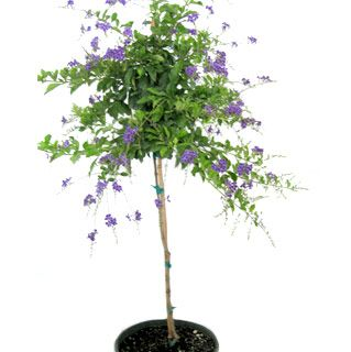 Purple Duranta Tree Backyard Fun Pinterest Trees