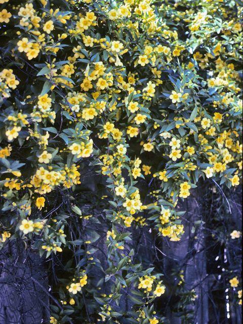 Die besten 25 carolina jasmine ideen auf pinterest for Evergreen pflanzen