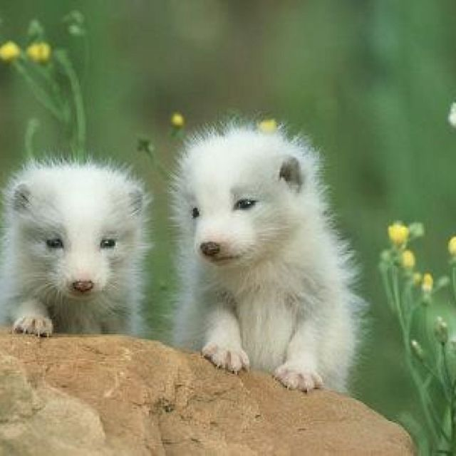 "Artic fox pups...""one of these days, we'll have a big tail, too"""