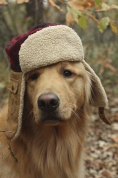 """"""" What's the meaning of a hat like this?"""" #dogs #pets #GoldenRetrievers Facebook.com/sodoggonefunny"""