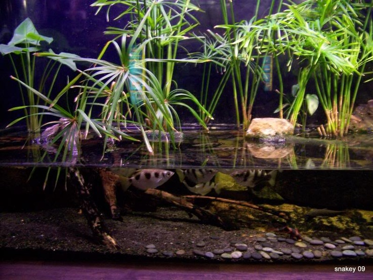 archer fish tank with semi submerged plants fish