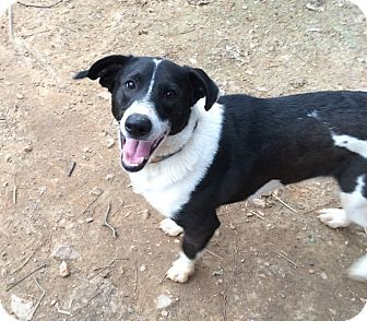 Pictures of Zack a Border Collie/Corgi Mix for adoption in Acworth, GA who needs a loving home.