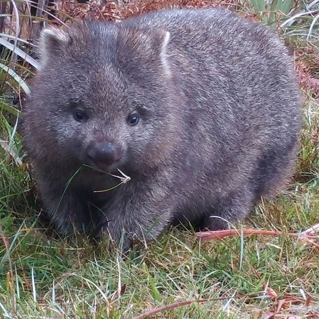 A wombat looking extra cute at Cradle Mountain via http://buff.ly/1CqbK5g?utm_content=buffer93f6b&utm_medium=social&utm_source=pinterest.com&utm_campaign=buffer