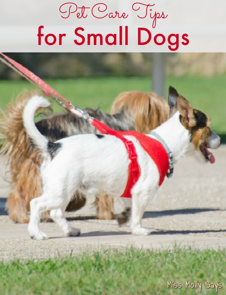 If you have a small dog or are considering adding a small dog to your family these pet care tips for small dogs are for you!