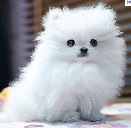 pomeranian sheepdog photo | Sötaste hundrasen i hela världen
