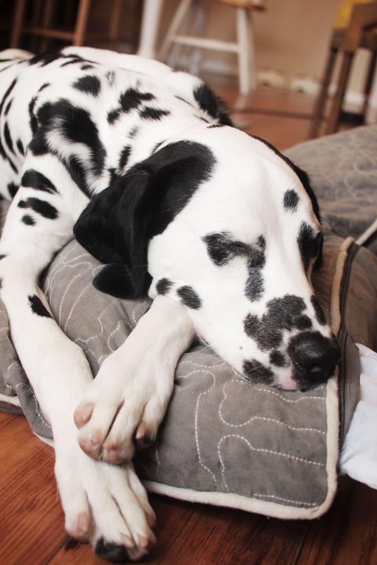 Dalmation Sleepy Dog