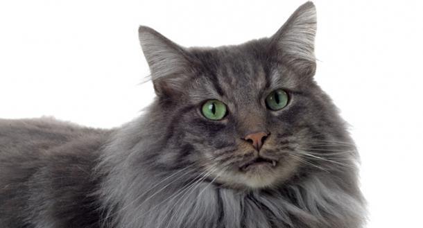 Le Norvégien, également appelé chat des forêts norvégiennes ou norsk skogkatt, est une race de chat à poil long originaire de Norvège. Lire la suite sur http://animo.orange.fr/chat/race/le-norvegien.html