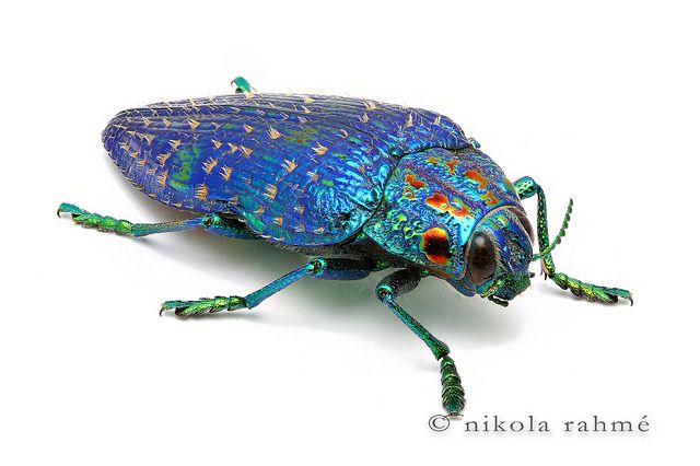 Malagasy jewel beetle (Polybothris sumptuosa) from Madagascar  Photographed by Nikola Rahme