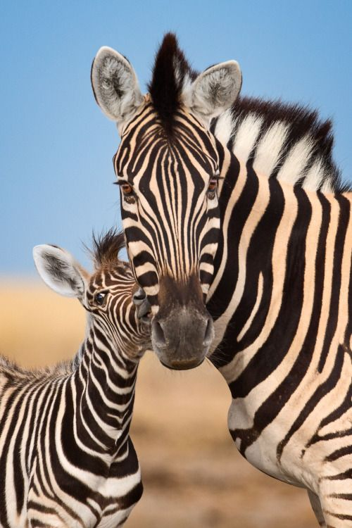 Rubbing heads by Mogens Trolle A zebra foal and mother rubbing heads. Etosha National Park, Namibia.