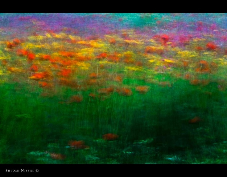 Poppies, daisies and lupines - Shlomi Nissim: Shlomi Nissim, Daisies, Lupin, Nissim Artists, Artists Photographers, Nissim Poppies, Pretty Flower, Flower Photography, Colors Inspiration