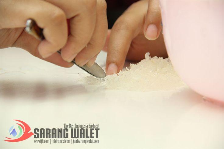cuci sarang walet