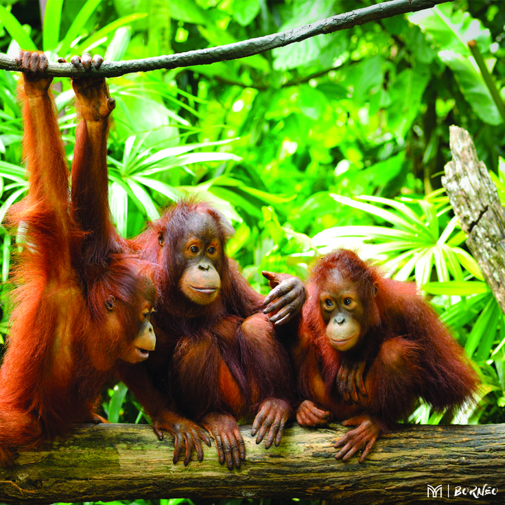 Did you know the word 'orangutan' translates to 'man of the forest' and they can only be found in the jungles of Borneo and Sumatra.  Meet these beautiful creatures when you join us in Borneo!  Click the link for incentive details, .  #borneoincentive #mannatechtravel #mannatechaustralasia