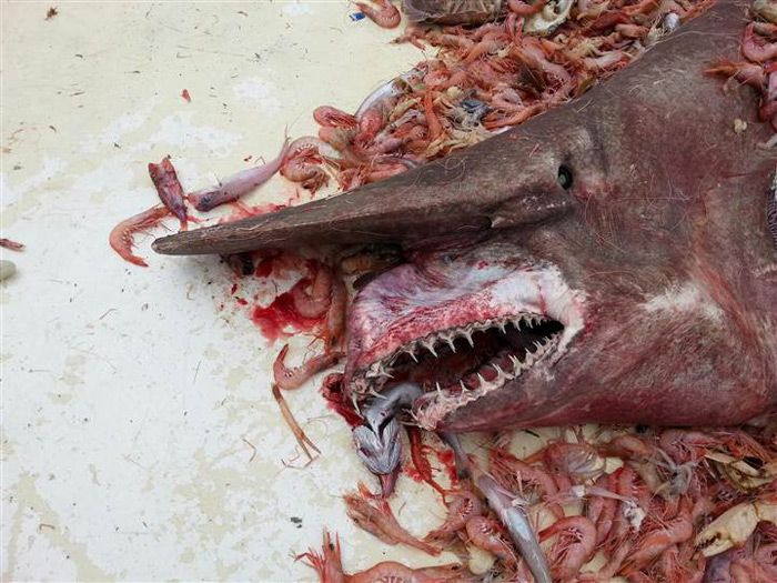 Goblin shark - Terrorífico tiburón duende capturado en Florida