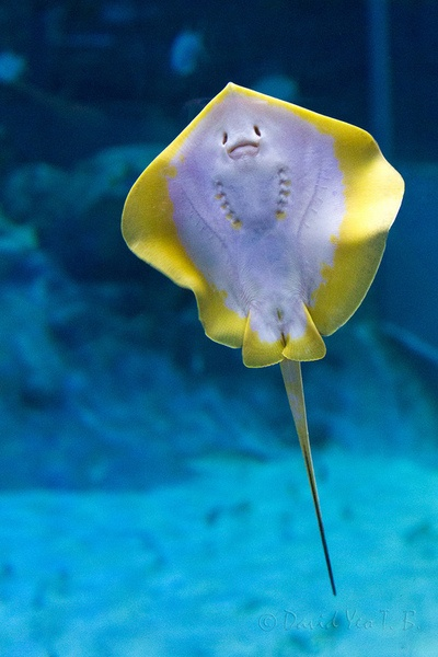 Baby stingray - ©David Yeo T B - http://www.flickr.com/photos/7565152@N05/8597469481