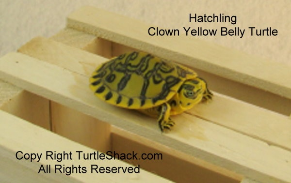 clown yellow belly turtle