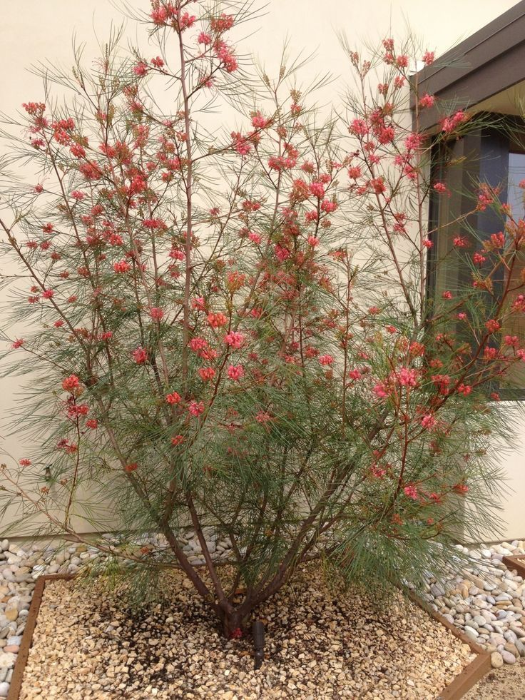 I see this filling up the perimeter of property.  Maybe at edge of lawn?  Grevillea 'Long John' - Google Search