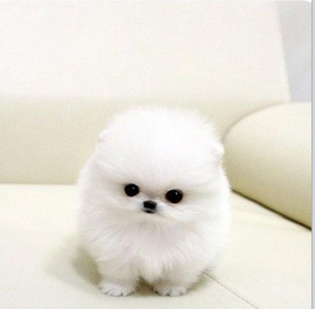Teacup puppy OMG it's a snowball! Is it real?