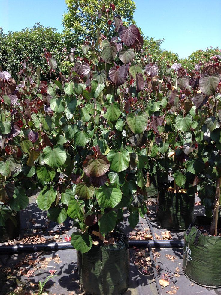 hibiscus rubra - Google Search
