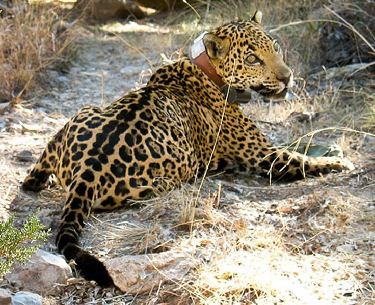 The jaguar Childs spotted was named Macho B. In February 2009, the Arizona Game and Fish Department illegally captured him and fitted him with a radio collar. The event cost Macho B his life. Image courtesy Richard Mahler.