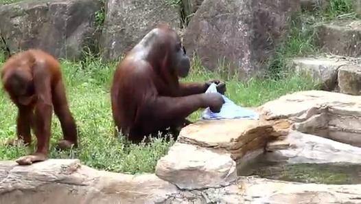 Dans le zoo Tama Zoological Park de Tokyo au Japon, un orang-outan se rafraichit avec une serviette mouillé car il fait très chaud. Filmé en pleine chaleur du mois d'aout, le singe va tremper une serviette dans un bassin d'eau, l'essorer puis se rafraîchir en s'essuyant le corps avec cette serviette humide. Un deuxième singe plus jeune le rejoint et souhaite lui aussi profiter de ce bout de tissu pour se laver, mais il devra attendre son tour. Tout comme l'Orang-outang qui joue au Bunto, ce…