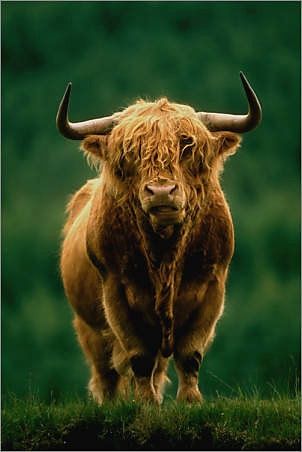 Scottish Highland cow. I LOVE cows!! I always call these cows Ludo from the character in the movie Labyrinth :)