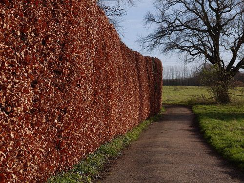 Copper beech hedge | beech tree 10 pot $ 29 90 fagus sylvatica beeches are large long lived ...