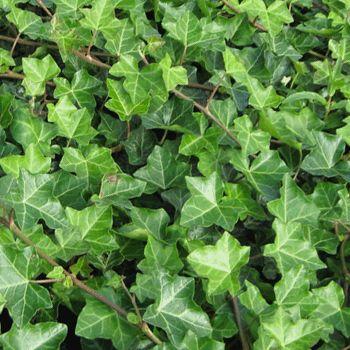 17 best images about ivy on pinterest the secret garden. Black Bedroom Furniture Sets. Home Design Ideas