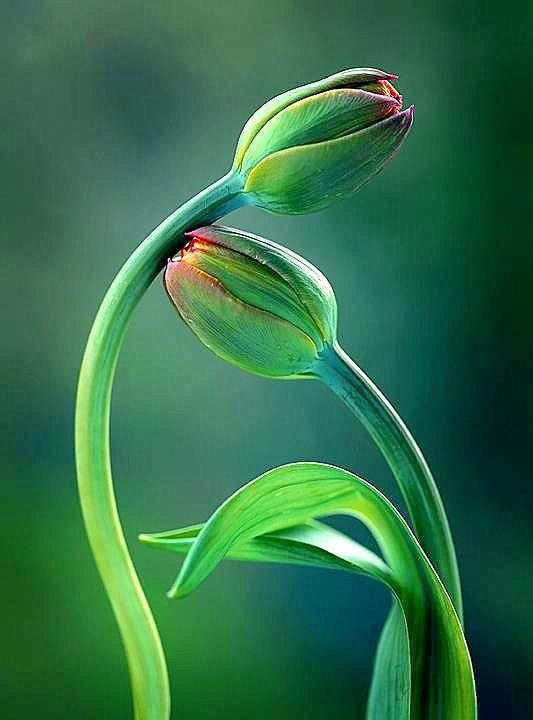 ✤ Simply Beautiful tulips green earth flowers