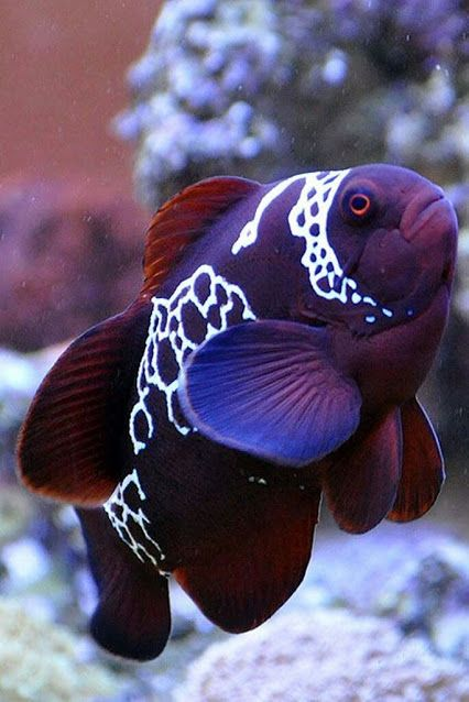 This fish reminds us of our Augustus! http://whatafishthinks.blogspot.com.au/