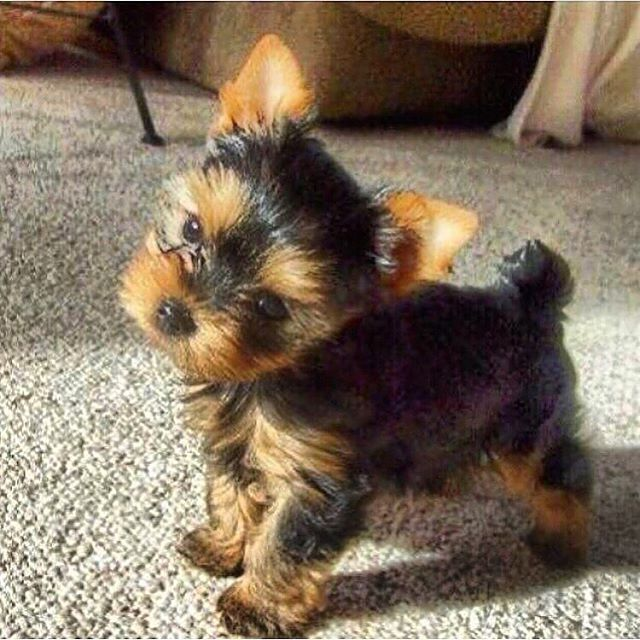 Woof Woof Puppies Boutique Woofwoofpuppies Instagram Photos And Videos Teacup Yorkie Puppy Yorkie Puppy Yorkshire Terrier Dog