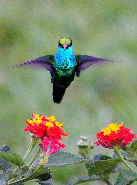 hummingbird and lantana pictured to,perfection ~ displaying hummer's incredible aerial abilities ~