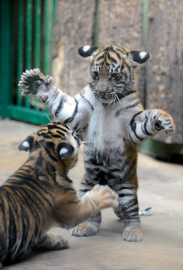 Un bébé tigre à l'allure bébé ours devant son pot de miel...