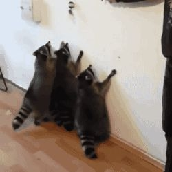 """Share this """"Raccoons vs Toy"""" animated gif image with everyone. Gif4Share is best source of Funny GIFs, Cats GIFs, Dog GIFs to Share on social networks and chat."""