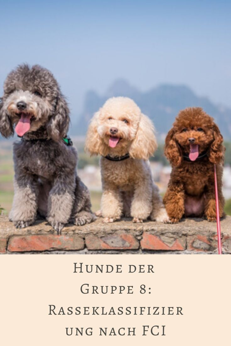 Hunde Der Gruppe 8 Rasseklassifizierung Nach Fci Hunde
