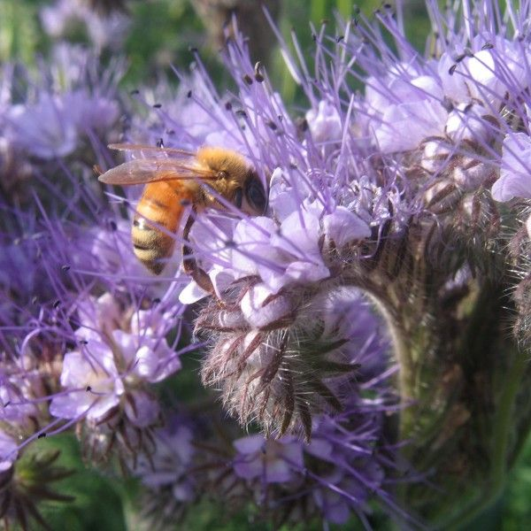 phacelia-tanacetifolia-Phacelia is one of the best flowers you can grow to attract bees to your garden…also attracts heaps of hoverflies which will eat up all the pesky aphids. It is a very informal plant and is best suited to a cottage garden style. Our friend Phacelia also makes a great cut flower but if you decide not to cut it…you can dig it back into the soil at the end of the season and it will add nitrogen to it. Height: About two foot. 500ish seeds in a packet Sow Phacelia either in…