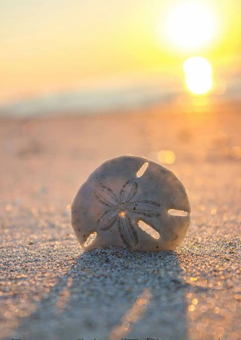 sand dollar - an object am thankful for