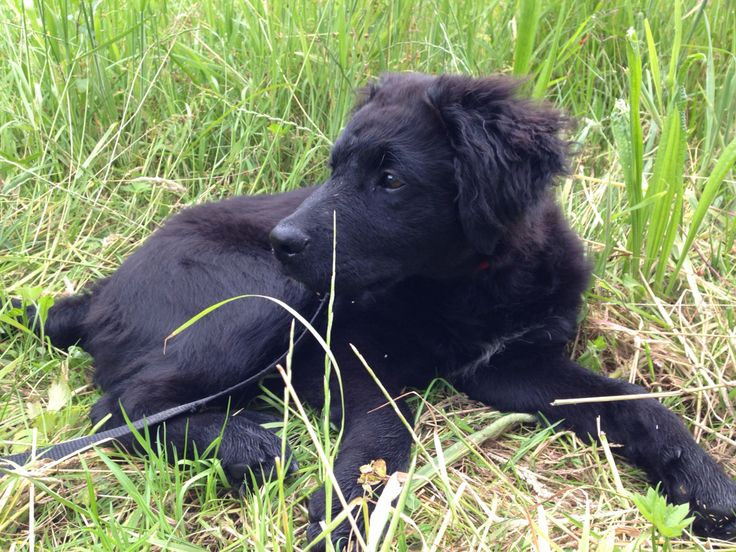 Labrador x wetterhoun x Stabij - Labrador x Frisian Water Dog x stabyhoun