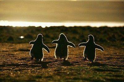 The three penguinos.