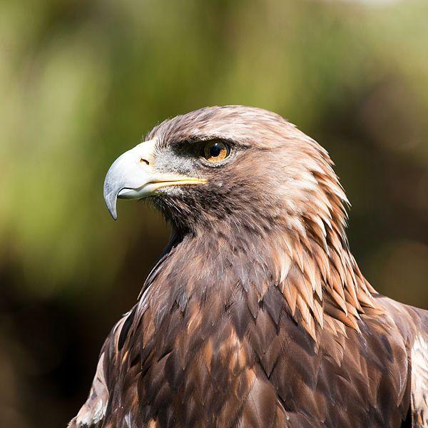 Golden Eagle (San Fran Zoo)