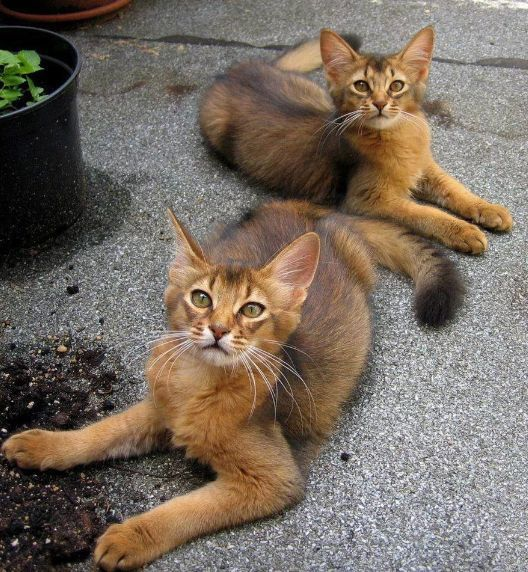 Abyssinians - beautiful cats.
