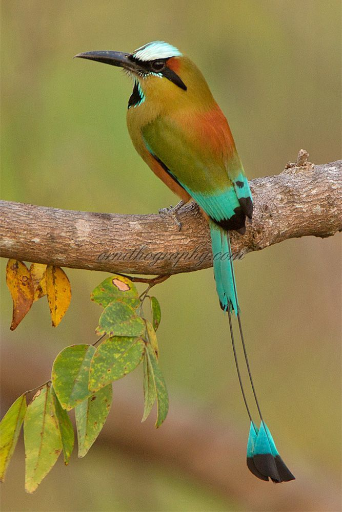 Turquoise-browed Motmot (Eumomota superciliosa). It inhabits Central America from south-east Mexico, to Costa Rica, where it is common and not considered threatened.