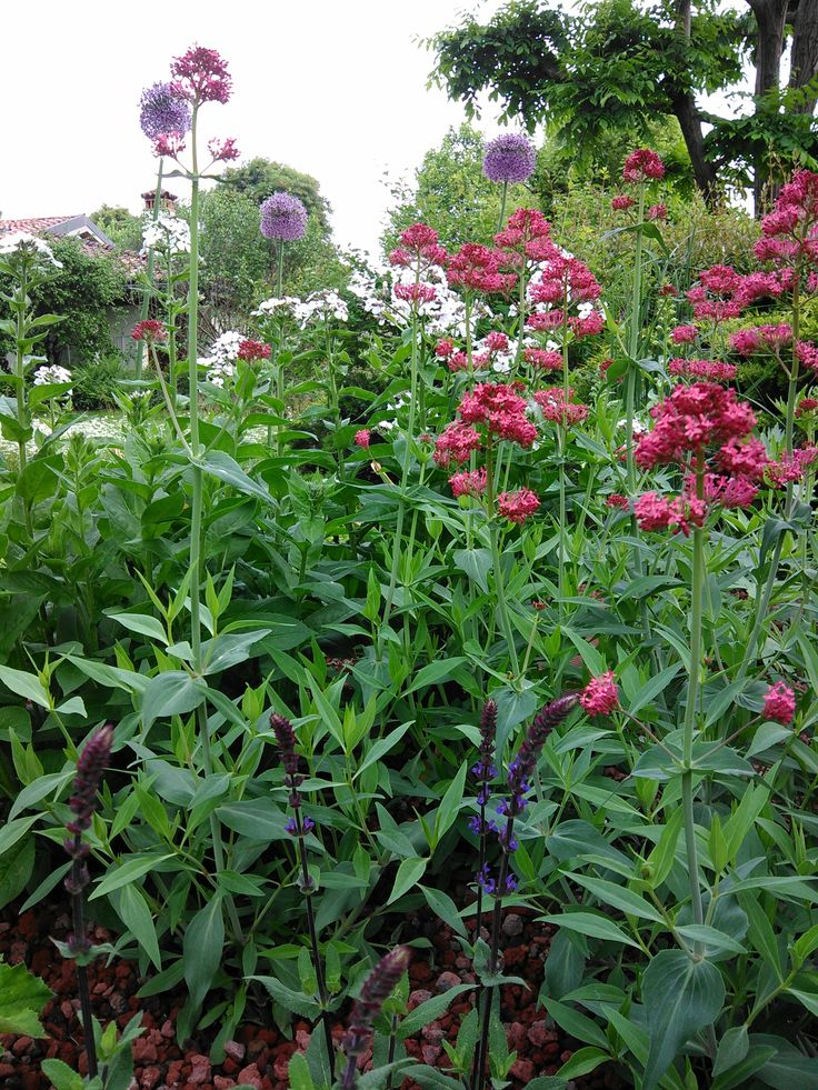salvia nemerosa 'Caradonna' - centrantus ruber ' Coccineus' - Hesperis matronalis var. albiflora - Allium 'Globemaster'